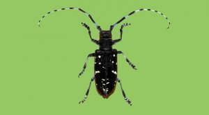 Efforts to Combat Asian Longhorn Beetle
