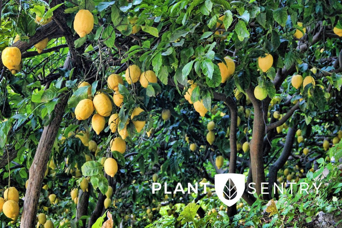 Lemon Grove and Plant Sentry