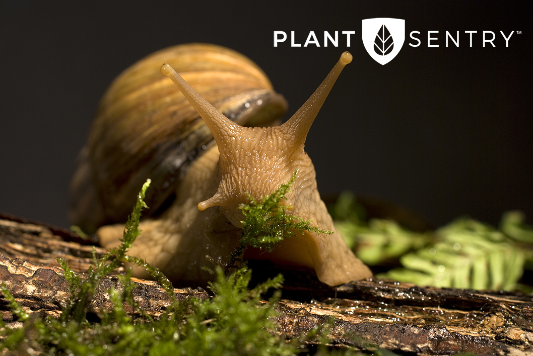 Giant African Snail and Plant Sentry
