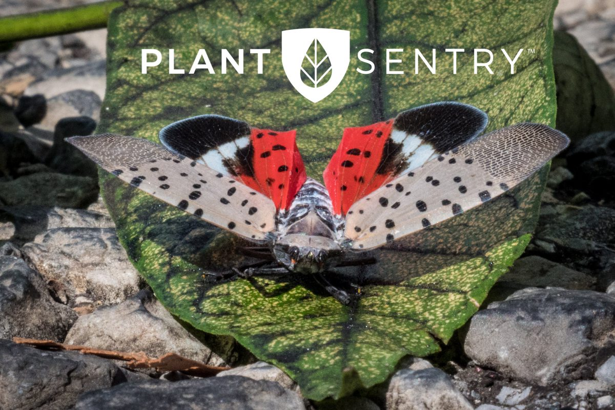 "Spotted Lanternfly ""Lycorma delicatula"""