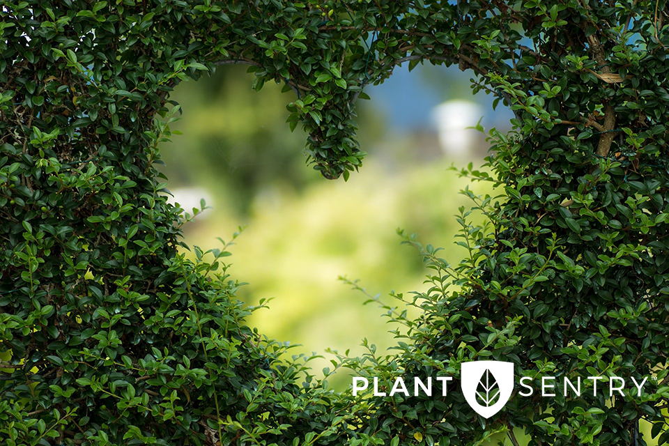hedge with a heart cutout; Plant Sentry